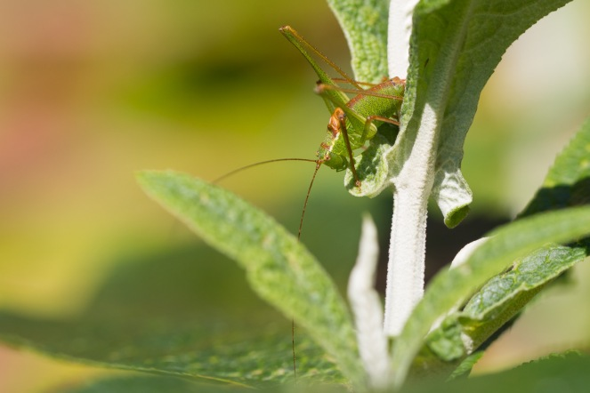 Male speckled bush-cricket out in the sunlight on a buddleja.
