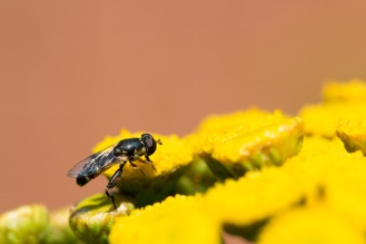 A thick-legged hoverfly (syritta pipiens) on a tansy flower.