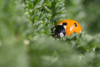 A 7 spot ladybird in the garden, hiding in amongst the leaves of a tansy plant.