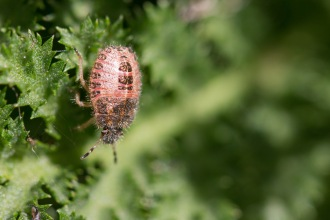 The hairy nymph of a hairy shieldbug.