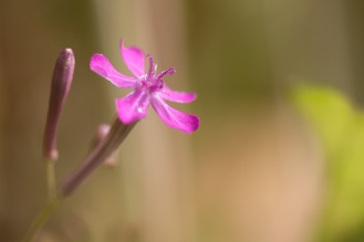One of the bright pink flowers of Sweet-William Catchfly, open in the garden.