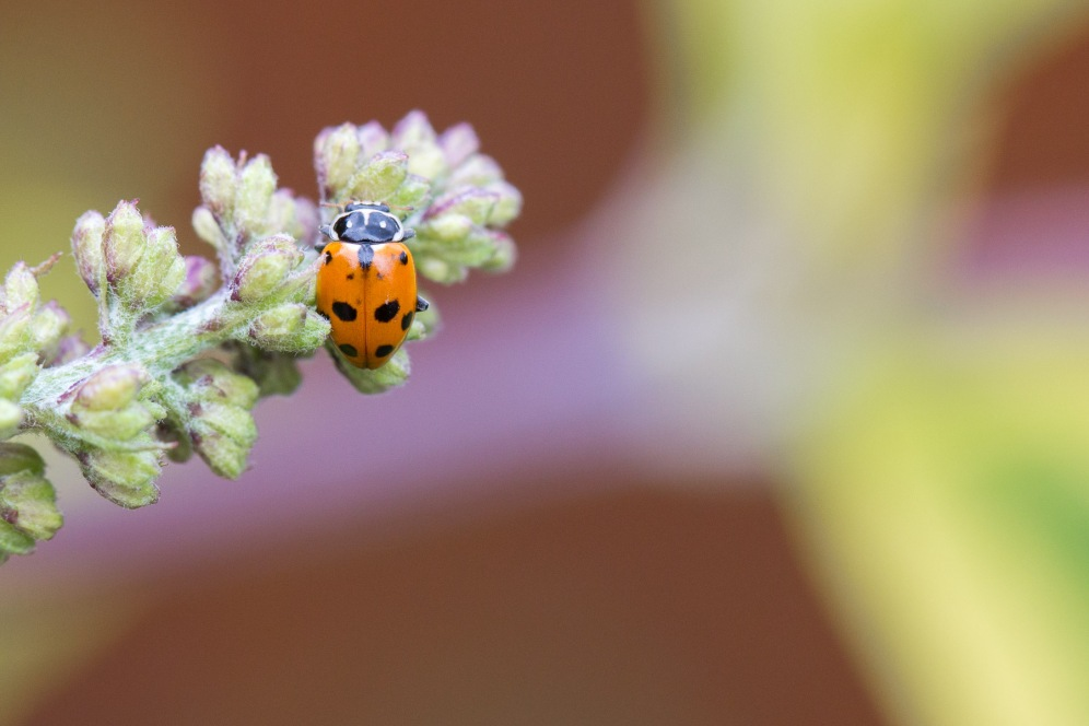 An adonis ladybird. Not a species I've seen in the garden before, but spotted two of them so far this year.