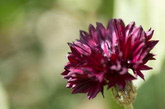 A deep red cornflower flower catching dapled sunlight in the garden.
