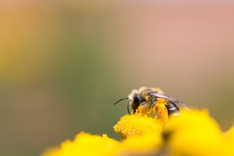 A small solitary bee in amongst tansy flowers.