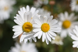 Oxeye daisy flowers in the afternoon sunlight.