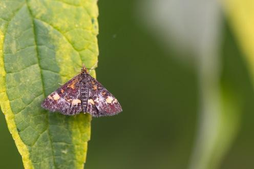A mint moth, pyrausta aurata, on a buddleja leaf.