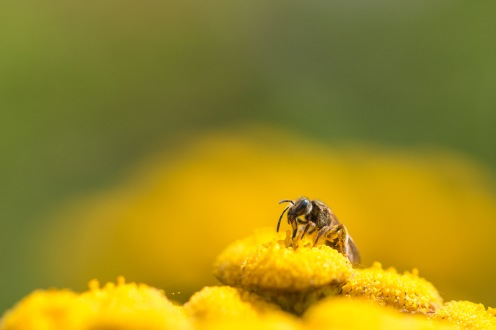 A tiny solitary bee in a mass of yellow tansy flowers.
