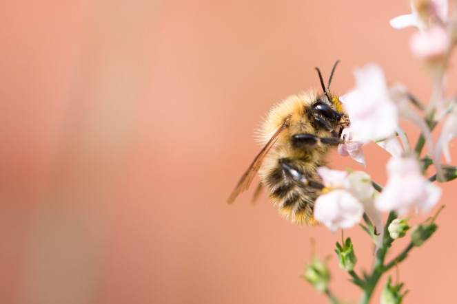 A carder bee feeding on Canon Went flowers.