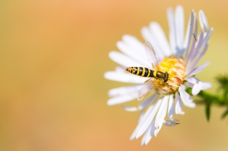 Female long hoverfly on an aster flower.