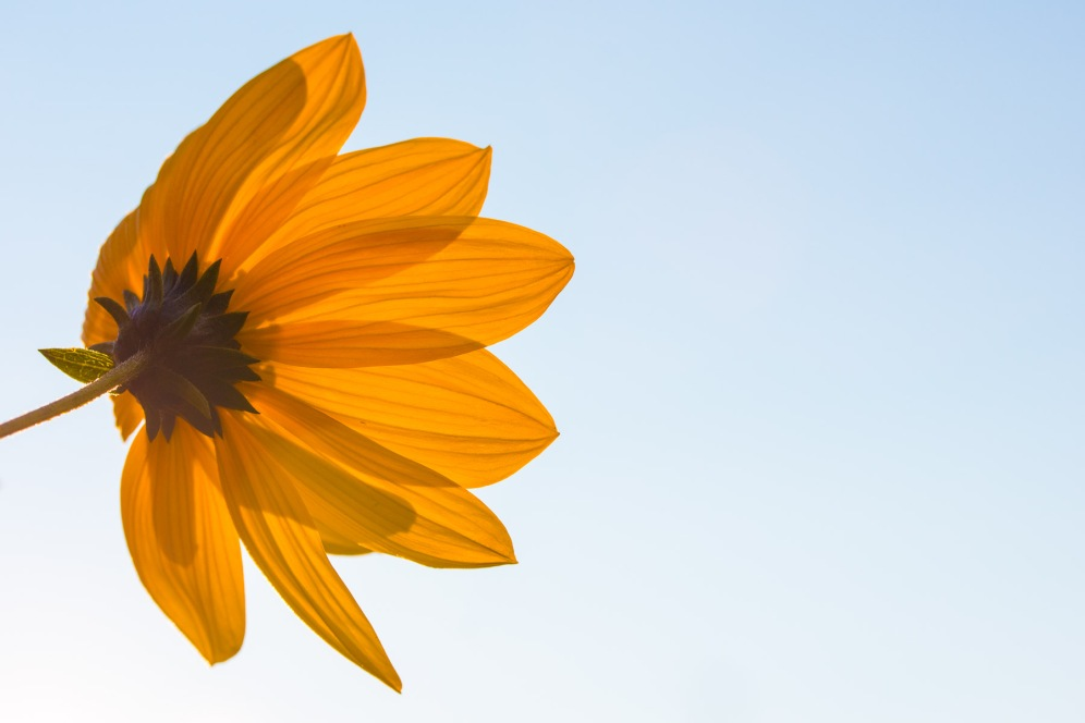 A false sunflower soaking up the evening sunlight.