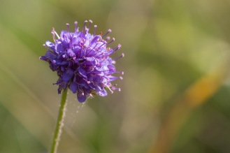 A flower on a devil's-bit scabious plant. Photos from a visit to Brampton Wood in September 2017.
