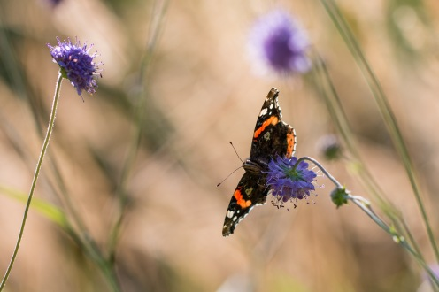 Sunlight shining through the coloured areas on the wings of a red admiral butterfly. Photos from a visit to Brampton Wood in September 2017.