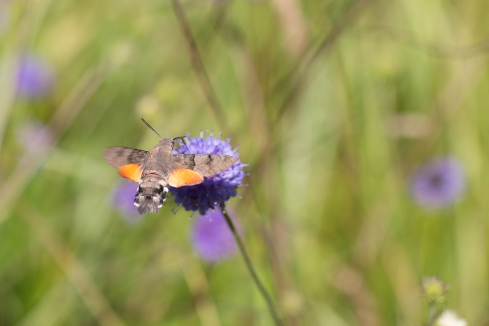 A hummingbird hawk moth feeding on devils-bit scabious. Taken at Wildlife Trusts Brampton Wood in Cambridgeshire.