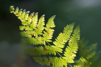 A sunlit bracken frond starting to turn brown as autumn arrives. Photo taken during a visit to Wildlife Trusts Short Wood and Southwick Wood, earlier this month.