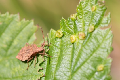 A dock bug nymph out in the sun. Photo taken during a visit to Wildlife Trusts Short Wood and Southwick Wood, earlier this month.