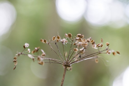 Seeds on an umbelifer flower head. Photo taken during a visit to Wildlife Trusts Short Wood and Southwick Wood, earlier this month.