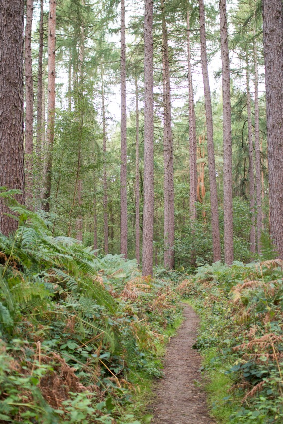 Walking into Wakerley Great Wood through the pine trees. Photo taken during a visit to Wakerley Great Wood in Northamptonshire.