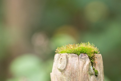 Moss growing on the top of a fence post. Photo taken during a visit to Wakerley Great Wood in Northamptonshire.