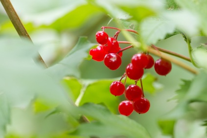 Bright red berries on a guelder rose. Photo taken during a visit to Wakerley Great Wood in Northamptonshire.