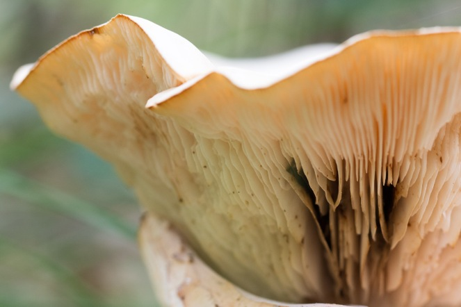 Gills on the underside of a mushroom on the woodland floor. Photo taken during a visit to Wakerley Great Wood in Northamptonshire.