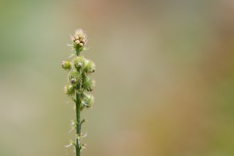 Flower buds and seeds on an agrimony stem. Photo taken during a visit to Wakerley Great Wood in Northamptonshire.