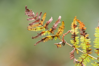 A bracken frond turning brown as the green colouring fades away. Photo taken during a visit to Wakerley Great Wood in Northamptonshire.