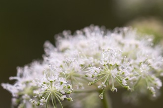 White flowers covering the flowerhead of an umbellifer. Photo taken during a visit to Wakerley Great Wood in Northamptonshire.