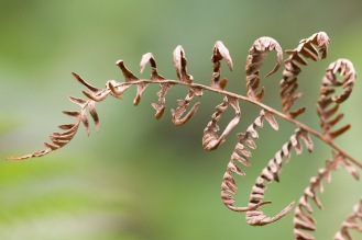 Brown leaves on a finished bracken frond. Photo taken during a visit to Wakerley Great Wood in Northamptonshire.