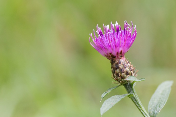 Bright pink flower of lesser knapweed. Photo taken during a visit to Wakerley Great Wood in Northamptonshire.