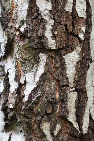 The cracked bark of an old silver birch tree. Photo taken during a visit to Wakerley Great Wood in Northamptonshire.