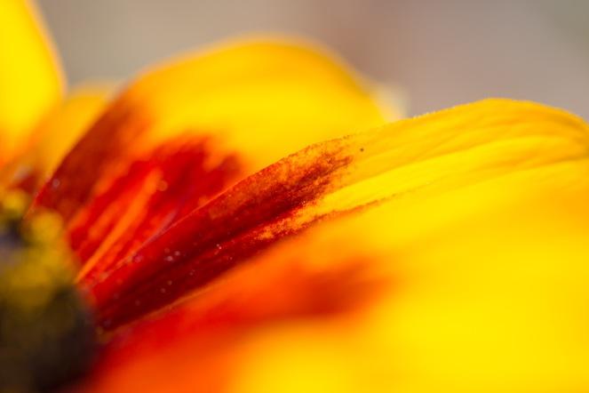 Petals of a rudbekia 'autumn shades' flower in the garden.