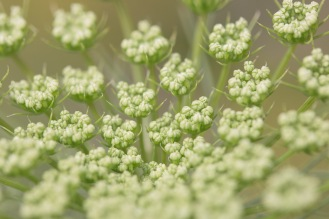 Ammi majus flower buds forming in the garden.