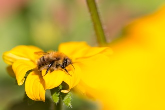 A common carder bee on a rudbeckia flower in the garden.