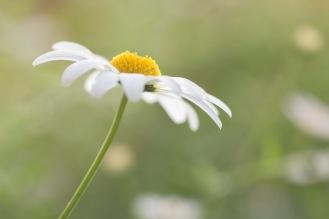 A single oxeye daisy in the garden.
