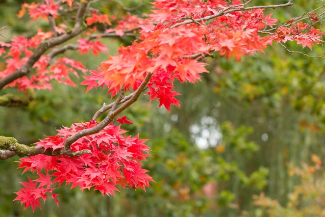 The bright red autumn leaves of an acer tree. Taken during a visit to Exbury Gardens in Hampshire.