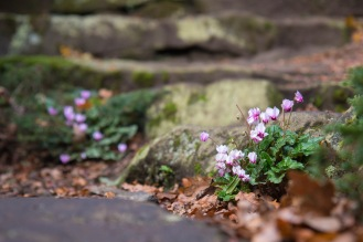 Cyclamen plants growing and flowering between rocks of steps. Taken during a visit to Exbury Gardens in Hampshire.