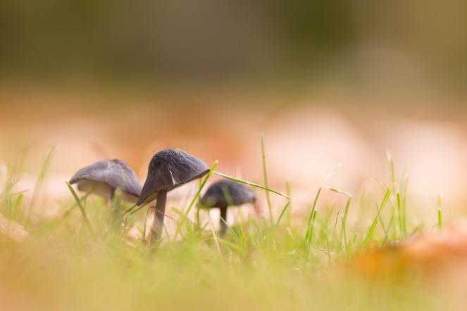 Toadstools sprouting amidst grass and fallen autumn leaves. Taken during a visit to Exbury Gardens in Hampshire.