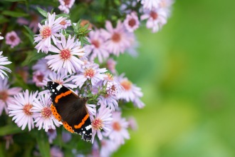 A Red Admiral butterfly feeding on aster flowers. Taken during a visit to Exbury Gardens in Hampshire.