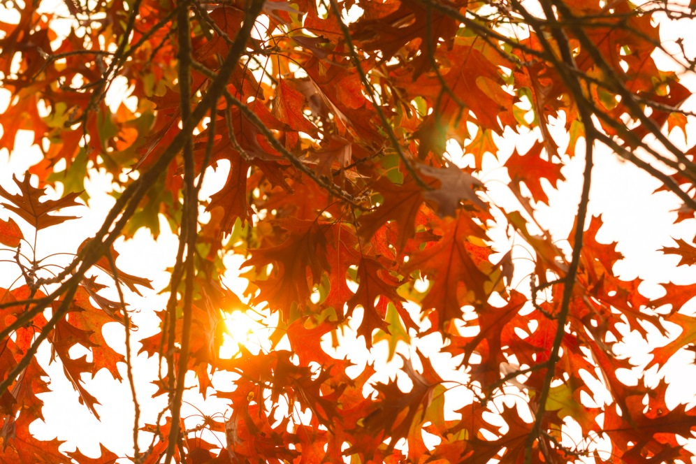 The orange sun created by the dusty clouds ahead of storm Ophelia, shining through the leaves of a Red Oak tree. Taken during a visit to Exbury Gardens in Hampshire.