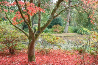 A carpet of red leaves beneath an acer tree. Taken during a visit to Exbury Gardens in Hampshire.
