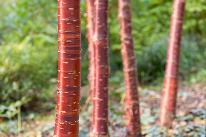 The lovely red bark of Tibetan Cherry tree trunks. Taken during a visit to Mottisfont in Hampshire.