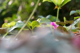 A flash of pink from a cyclamen flower in a sea of green leaves. Taken during a visit to Mottisfont in Hampshire.