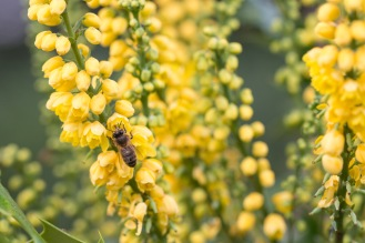 Mahonia flowers providing an autumn supply of nectar and pollen for the bees. Taken during a visit to Mottisfont in Hampshire.