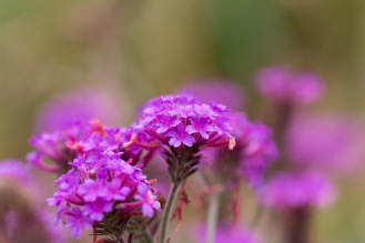 Morning dew on the petals of a verbena flower. Taken during a visit to Mottisfont in Hampshire.