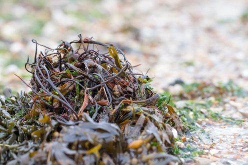 A clump of seaweed washed up on the beach at Meon Shore in Hampshire.