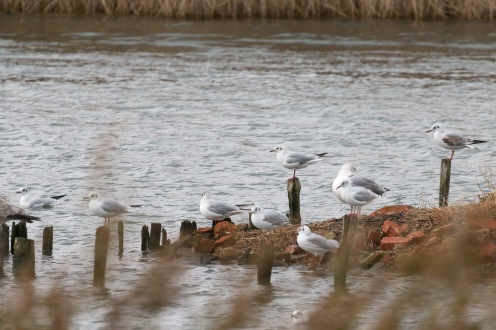 Gulls sitting on posts in the nature reserve at Titchfield Haven, in Hampshire.