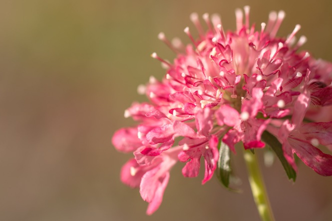 A pink scabious flower in the afternoon sunlight.