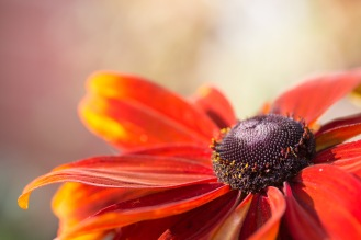 A mostly red rudbeckia hirta flower, soaking up the sunlight in the garden.