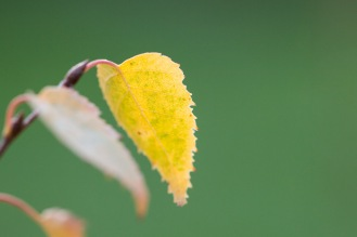 Last few remaining leaves on a small silver birch tree, changing to their autumn colours.