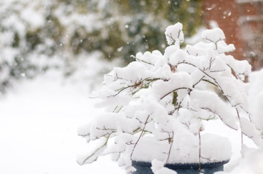Snow gathering on a small acer tree in my garden, this morning.